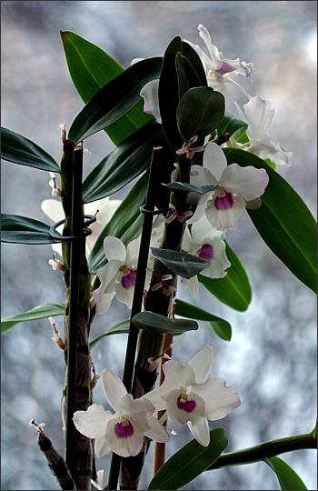 orkide_dendrobium_nobile_hybrid