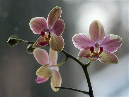 rosaorkide20090117