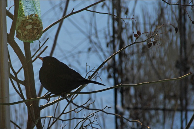 20140113_BlackBird