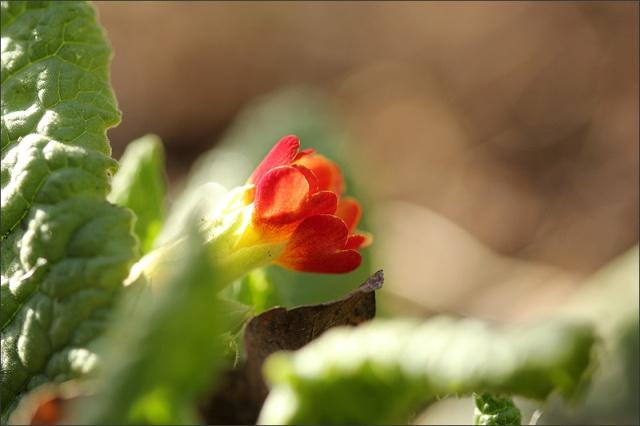 20140402_RedPrimula