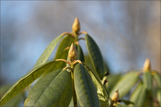 20140402_Rhododendron
