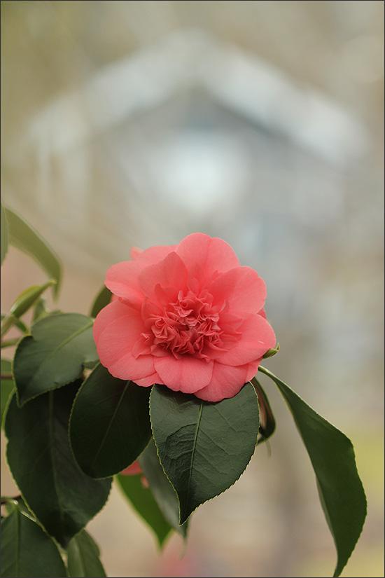 20140405_Camellia