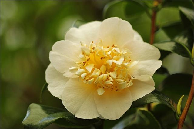 20140416_Camellia_01