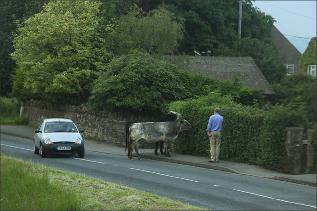 20140614_Cattle