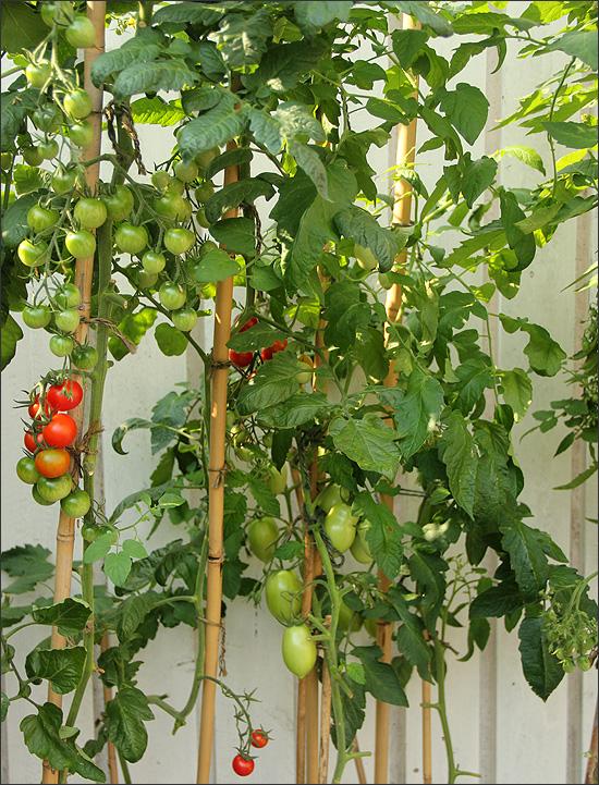 20140805_Tomatstatus