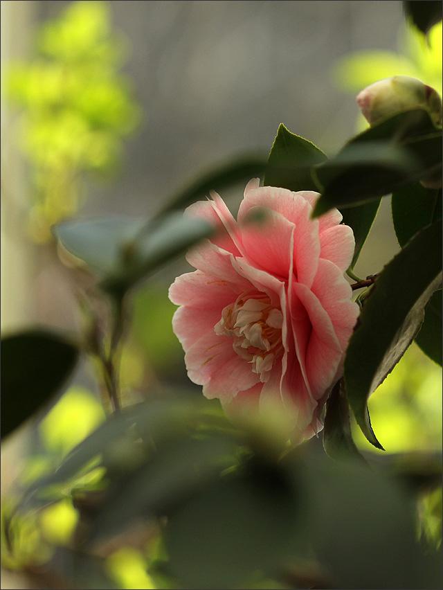 20150324_PinkKamellia