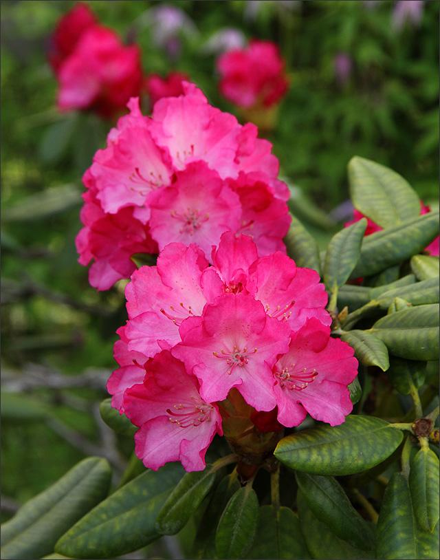 20150528_RhododendronFantastica