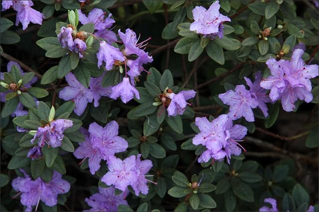 20150528_RhododendronLila
