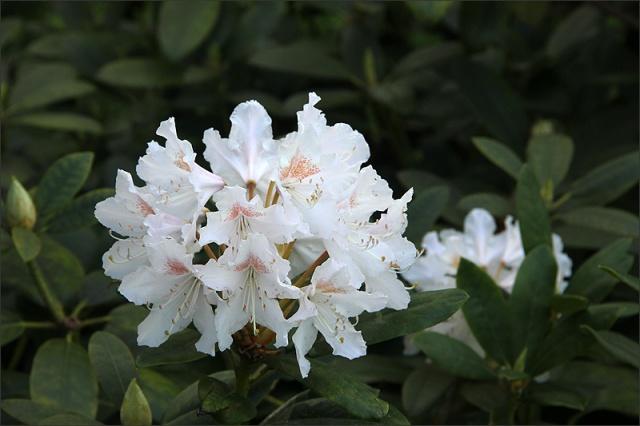 20150528_RhododendronVit