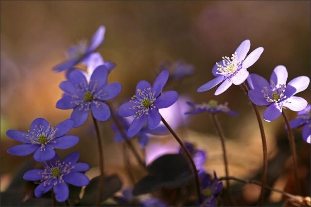 Spring_HepaticaNobilis