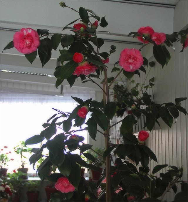 20160109_Camellia