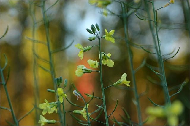 20161005_broccoliblommor